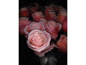Růžové vánoční růže