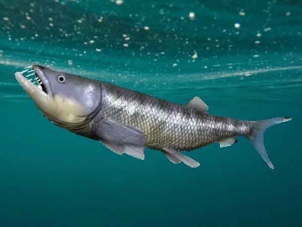 Enchodus - tygří ryba