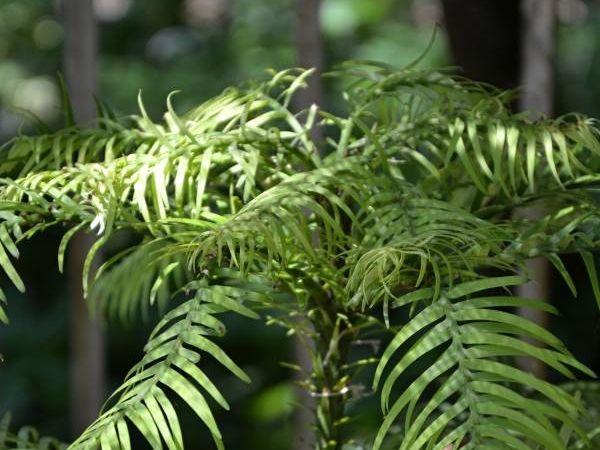 Živoucí fosilie - rostliny (flora)