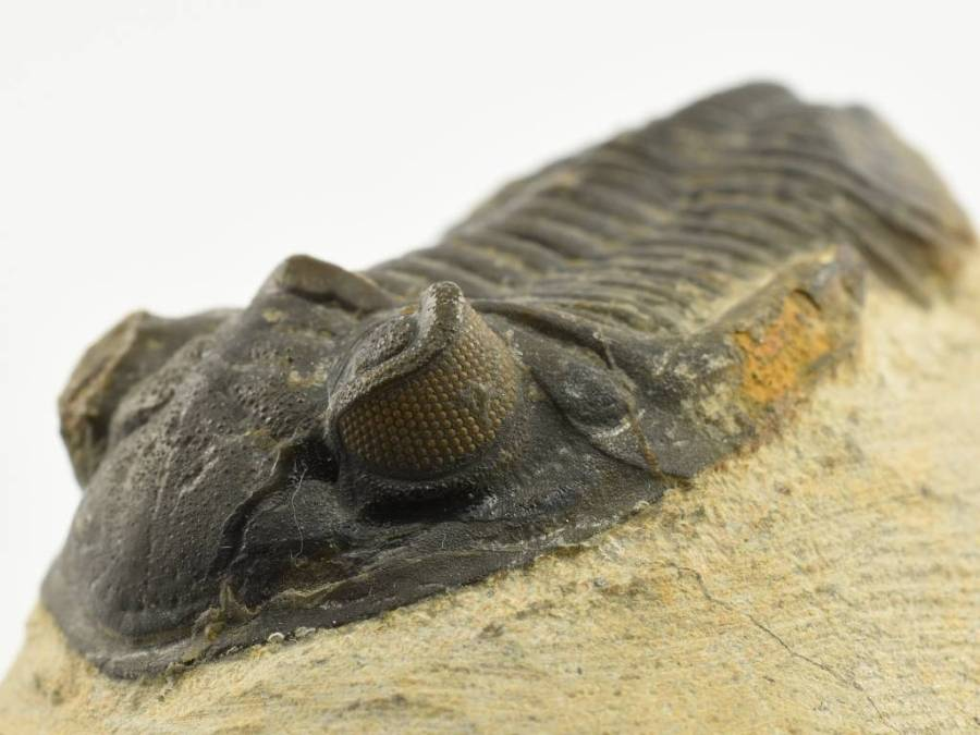 trilobit-Hollardops-51mm-