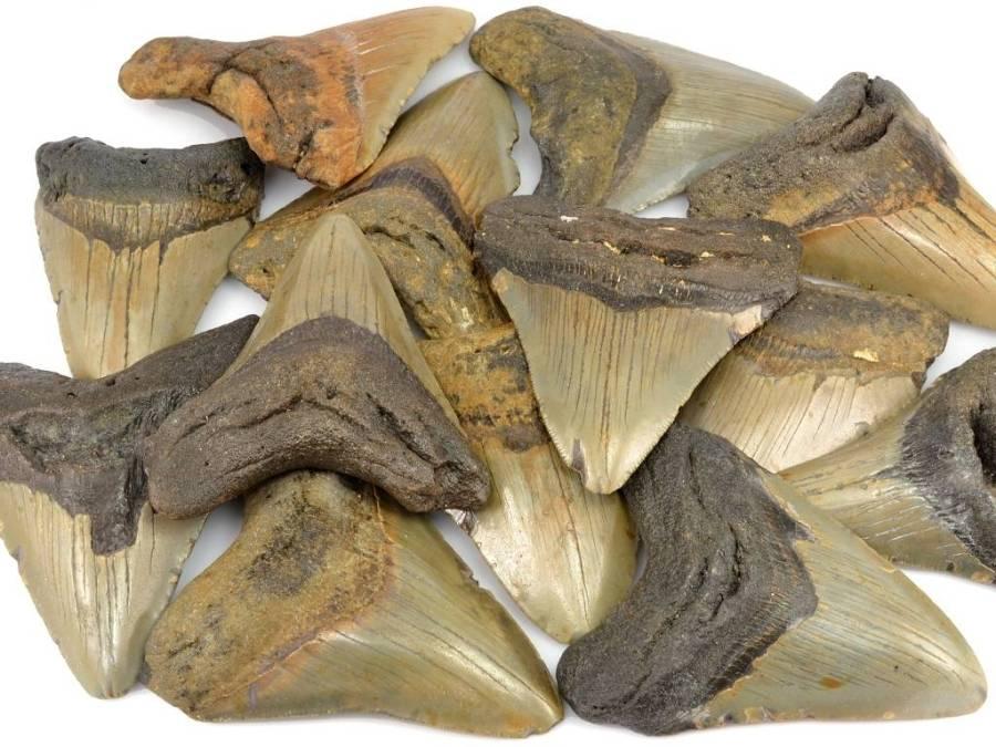 zraloci-zuby-megalodon