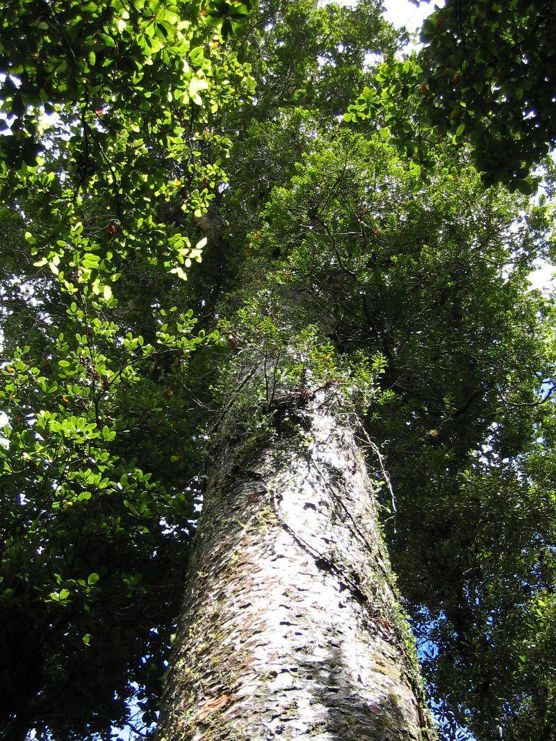 Agathis_australis_damaron