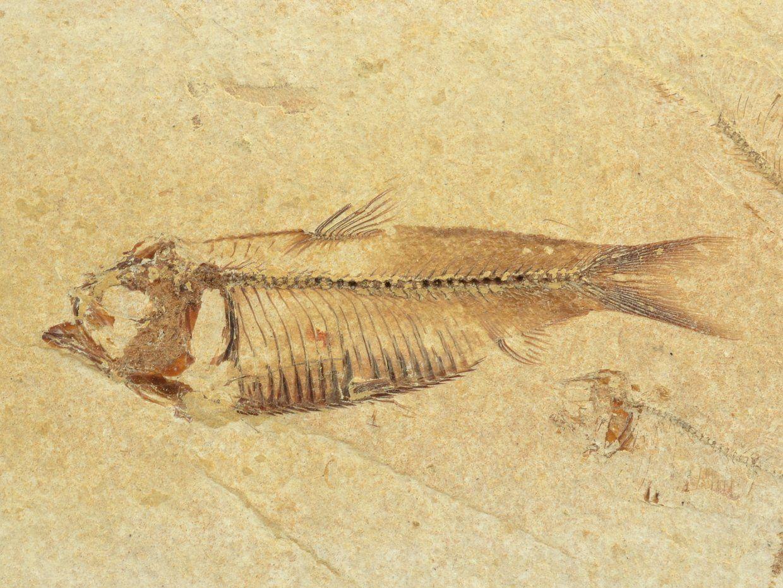 ryba-Gosiutichthys-parvus-1a