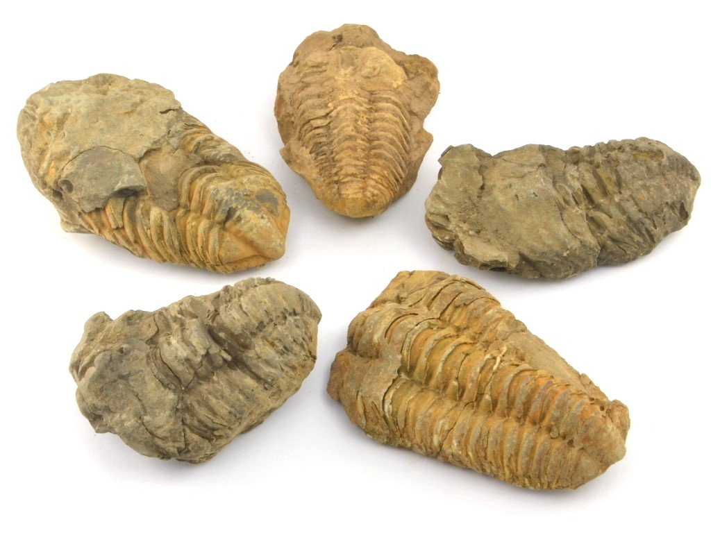 trilobiti-5ks-7