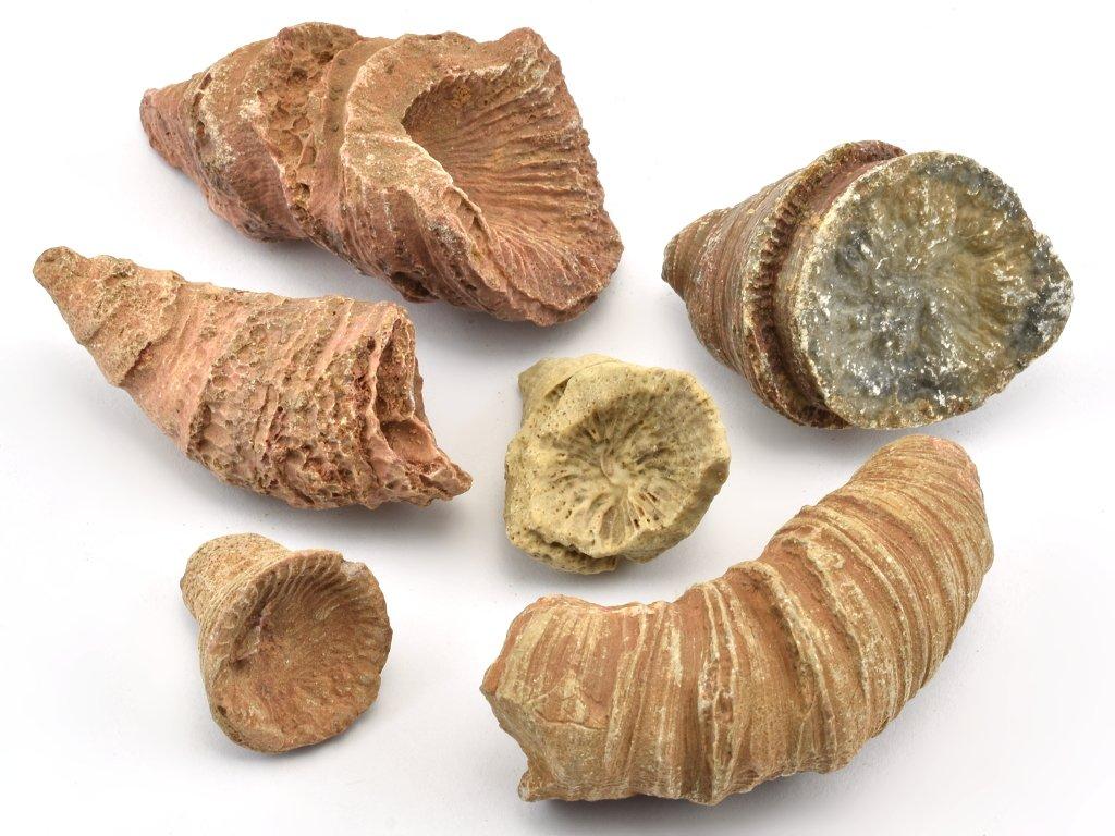 koral-rugosa-fosilni