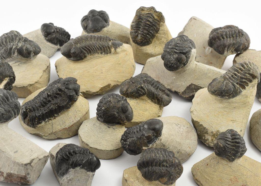 reedops-trilobiti