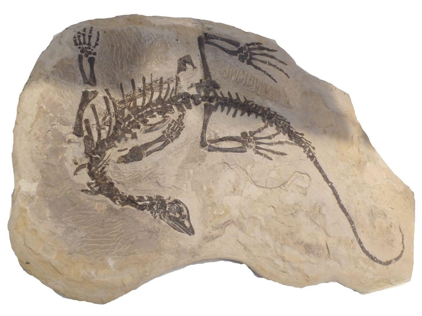 Claudiosaurus-germaini-Perm-Ramolira-Morondava-Badin-Madagaskar