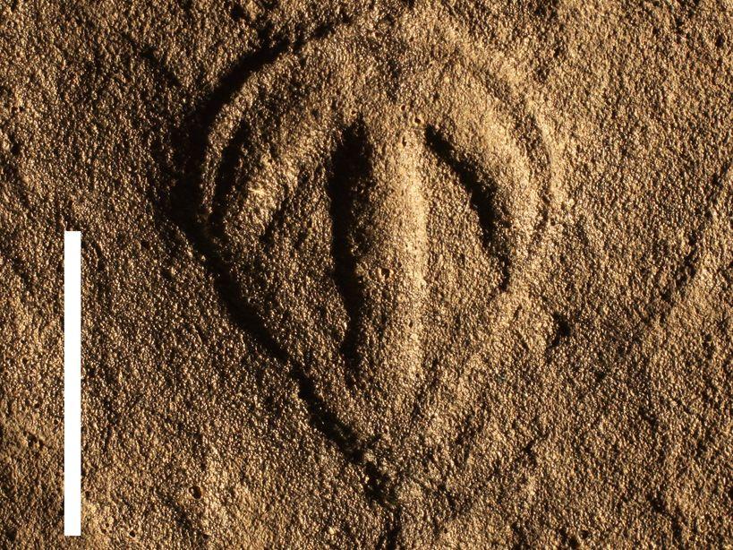 Parvancorina-fosilie