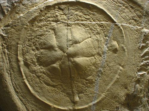 fosilni-meduza
