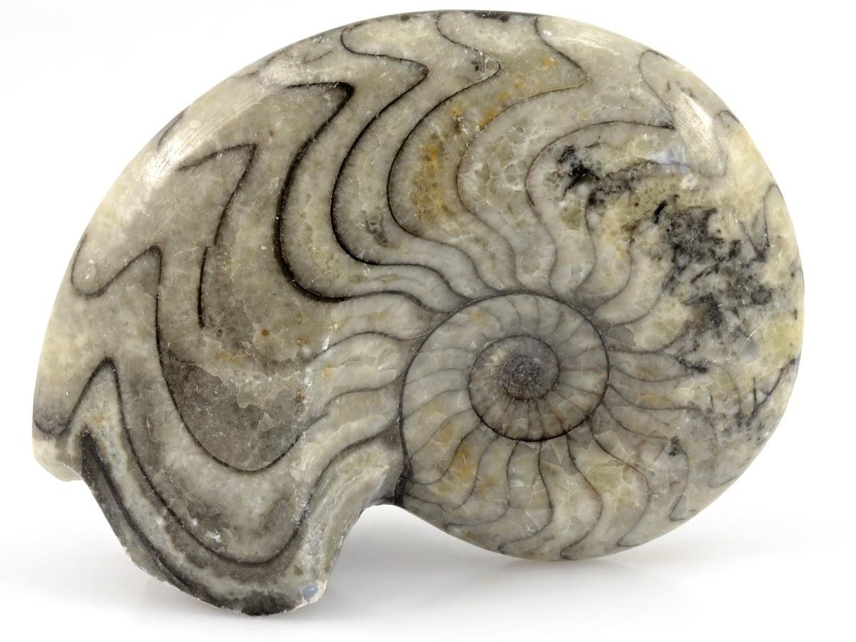 goniatit-zkamenelina