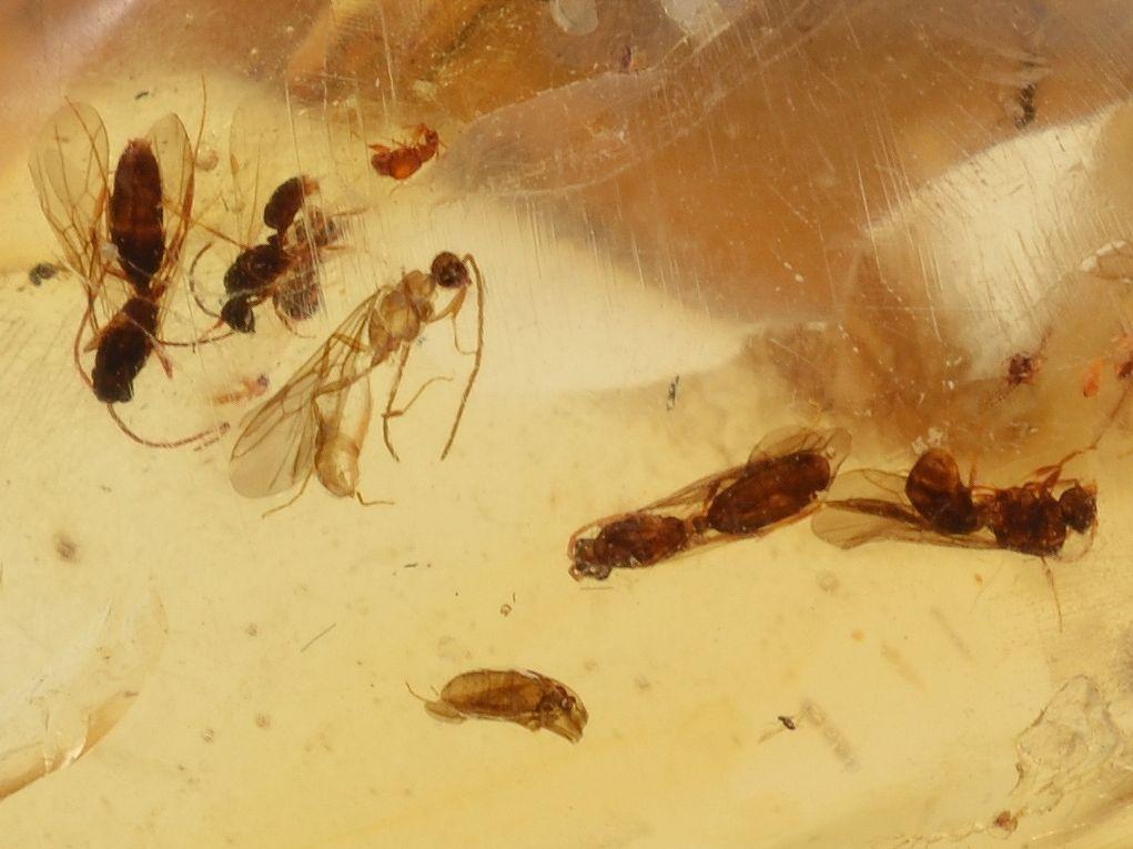 jantar-hmyz-madagaskar