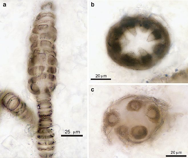 Bangiomorpha-pubescens-fossils-from-the-ca-1-200-Ma-Hunting-Formation-Somerset-Island