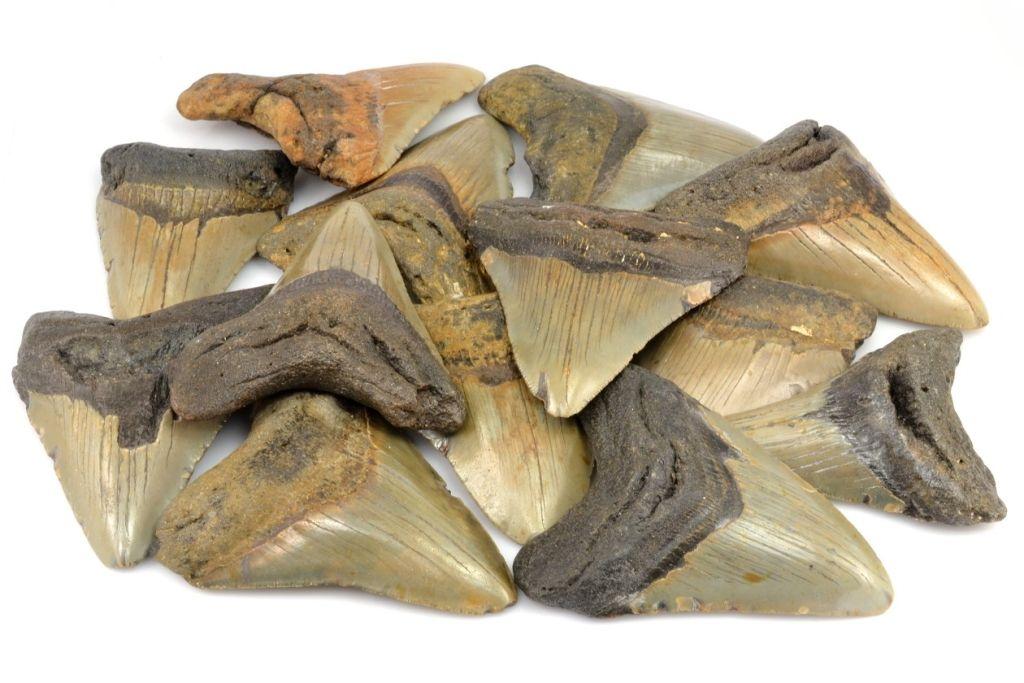 zraloci-zuby