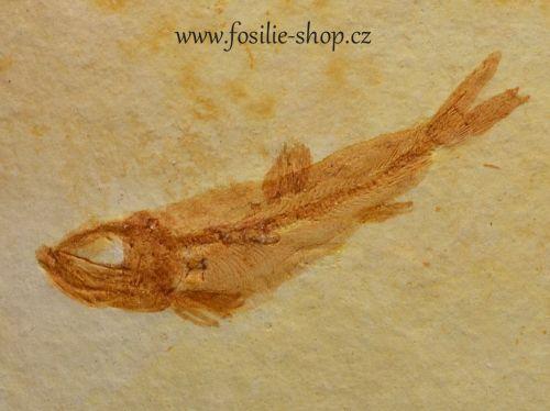 ryba-fosilni-solnhofen
