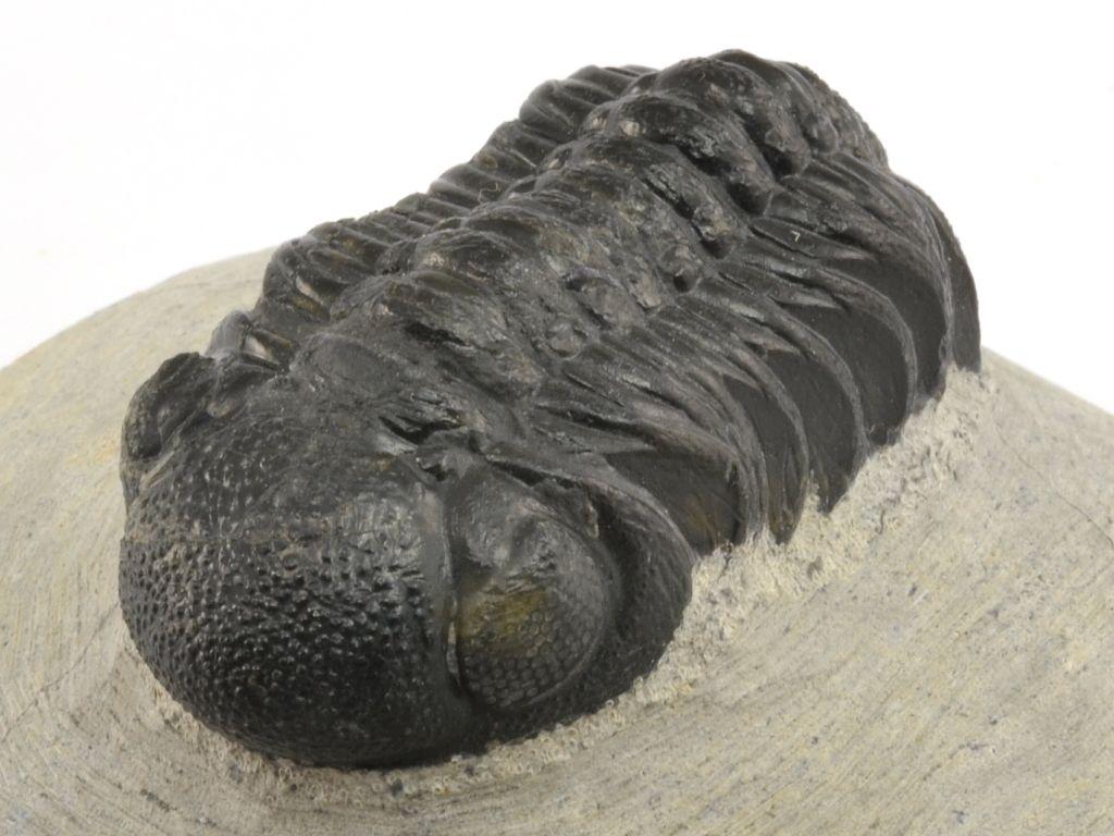 trilobit-maroko-phacops-11