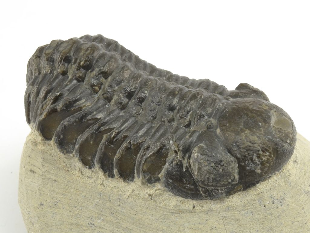 trilobit-maroko-phacops-13