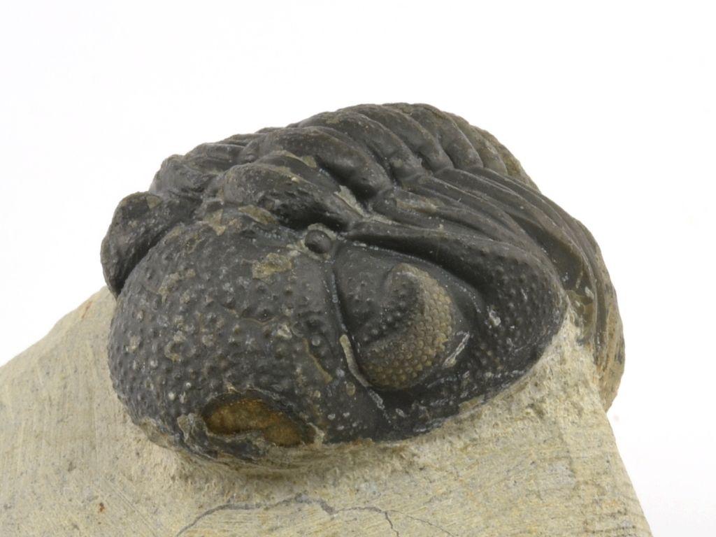 trilobit-maroko-phacops-14