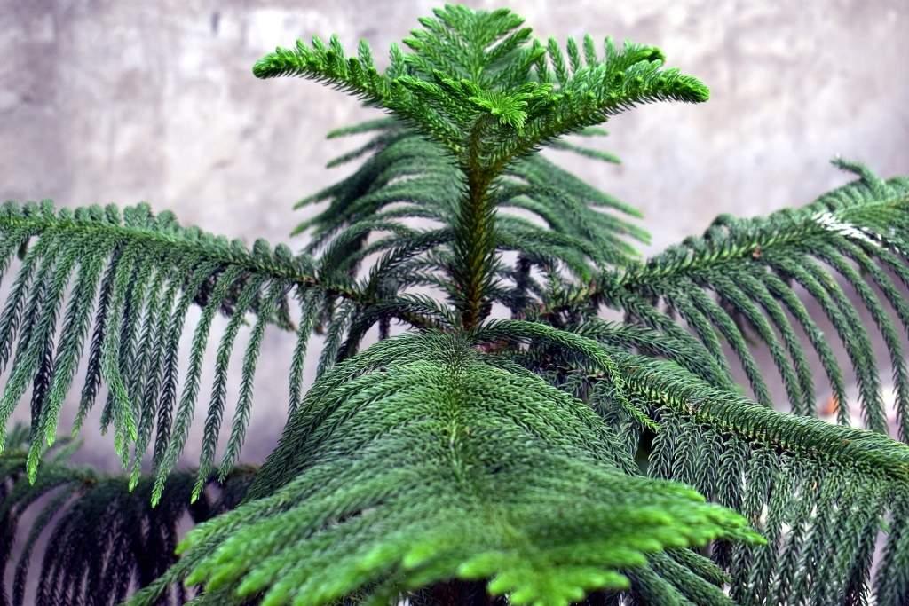 Živoucí fosilie, rostliny - blahočety Araucaria heterophylla