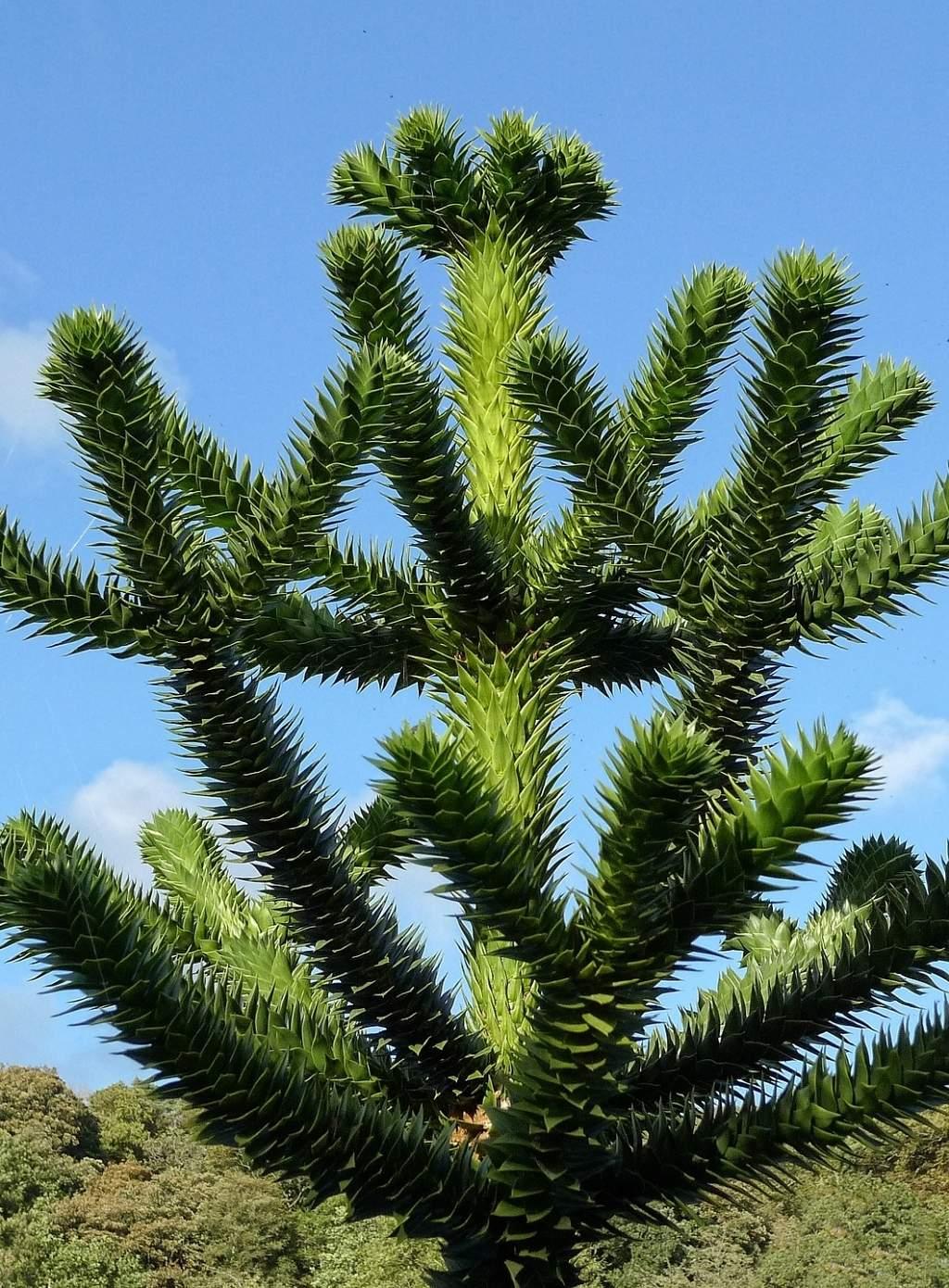 Živouci rostlinná fosilie - Araucaria araucana neboli blahočet chilský.