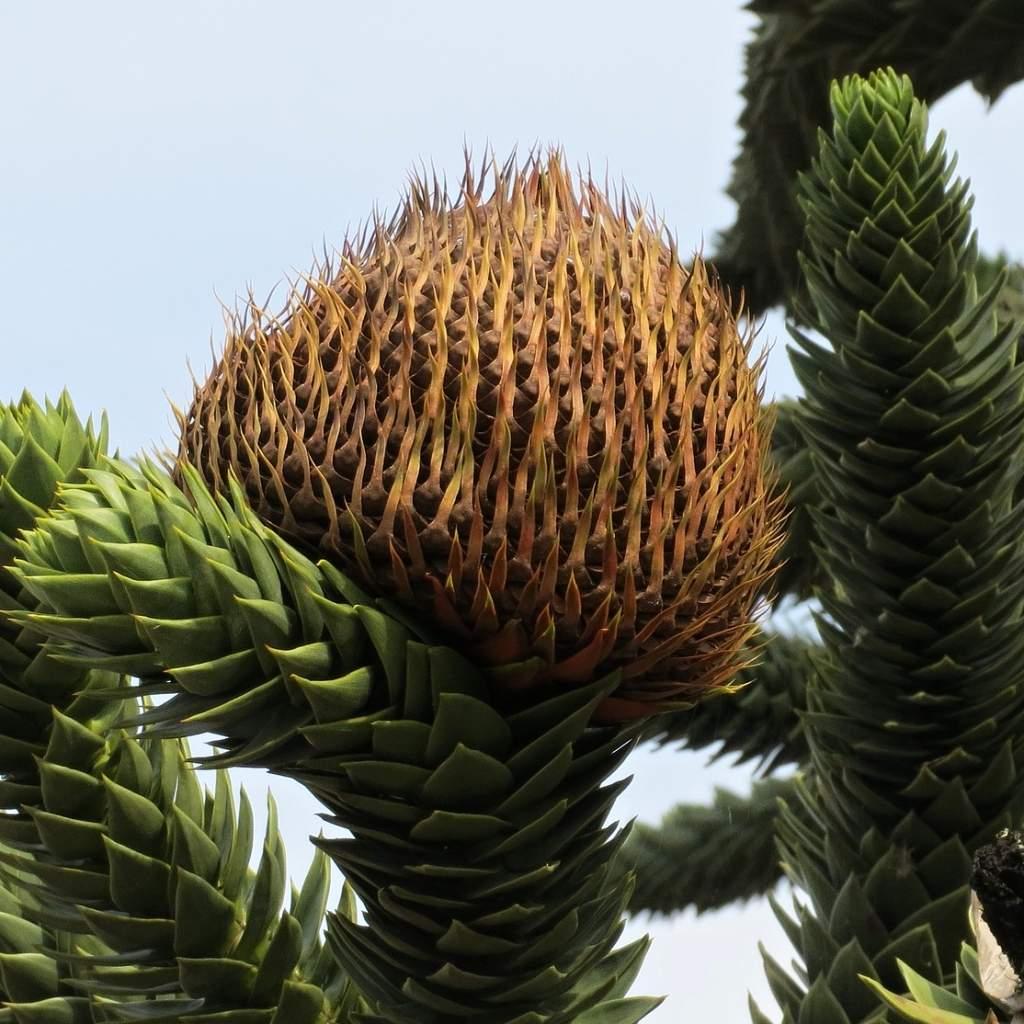Detail šišticeblahočetu chilského (Araucaria araucana).