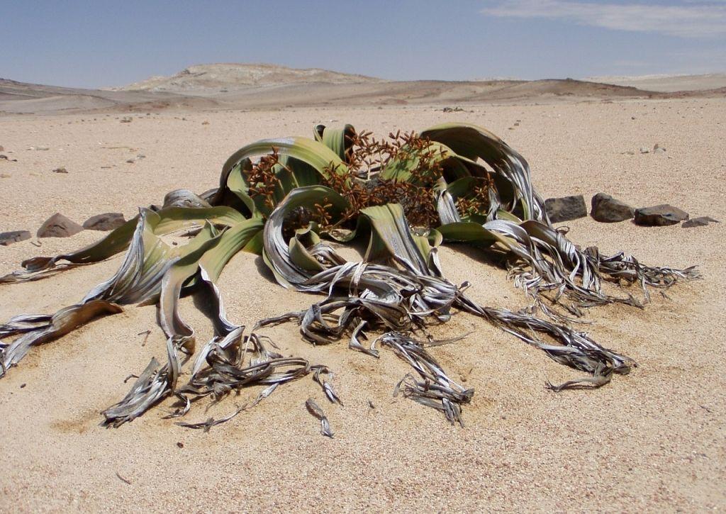 welwitschia-mirabillis