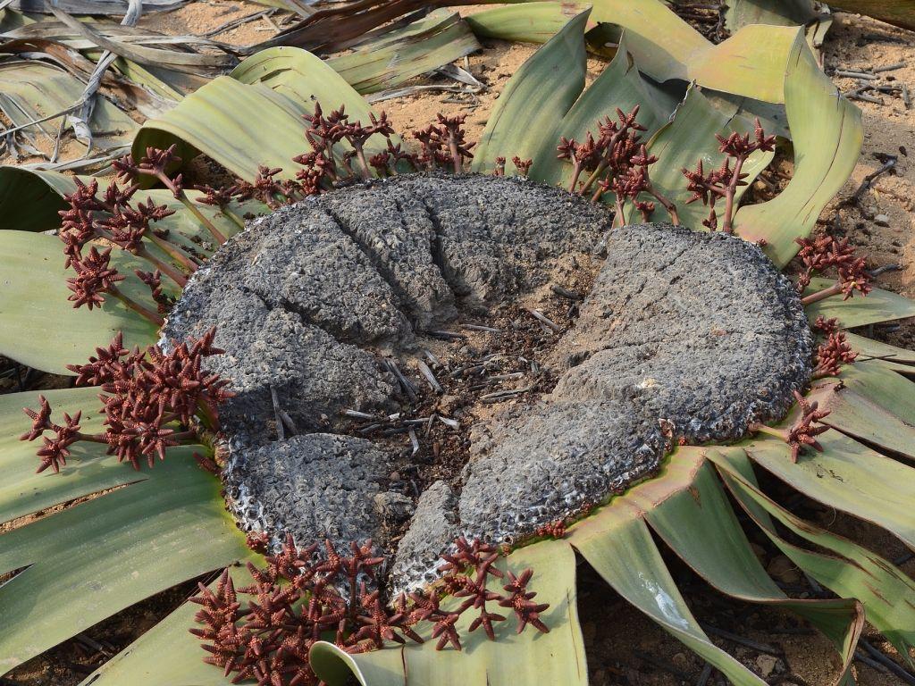 welwitschie-zivouci-fosilie
