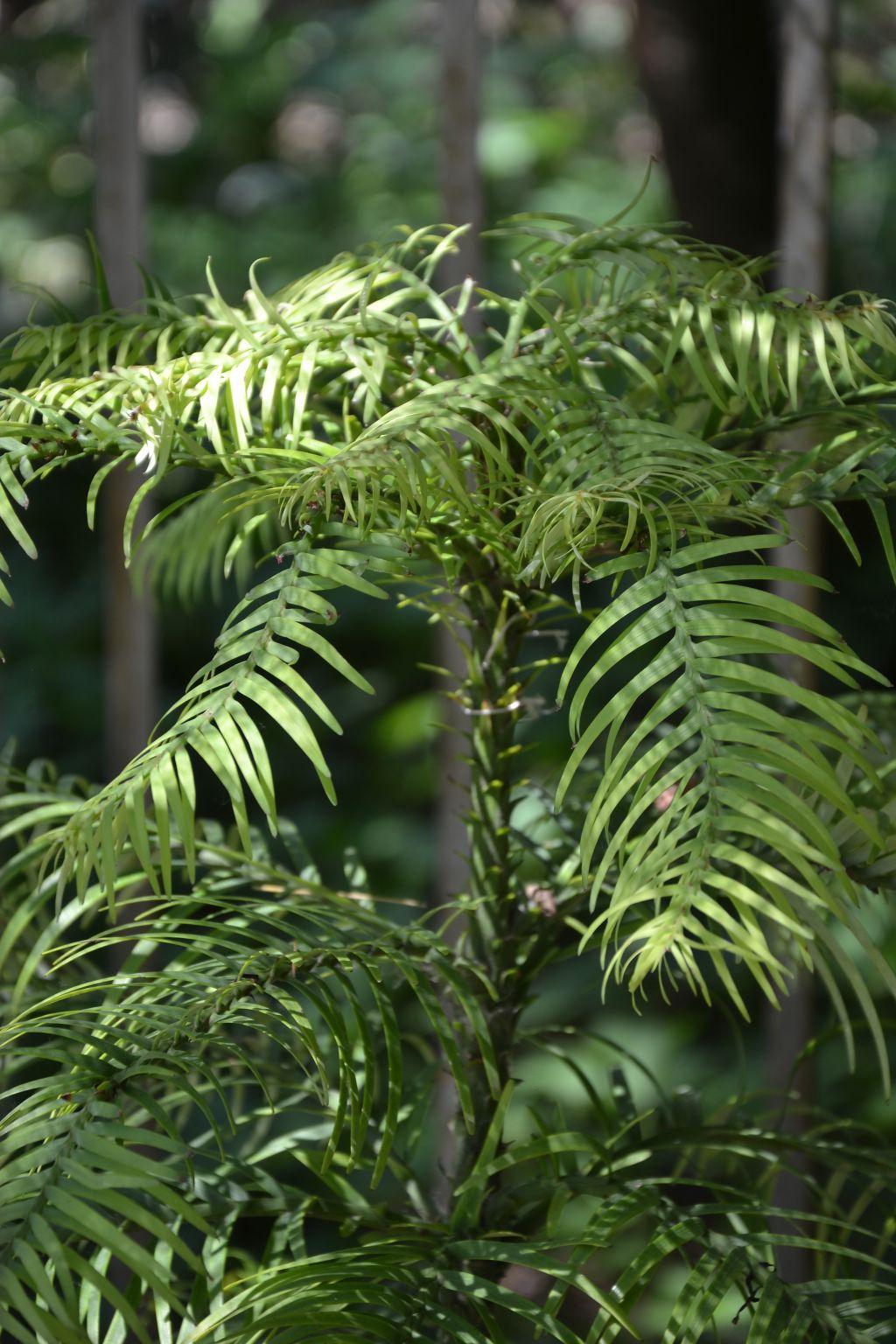 wollemia-nobilis-zivouci-fosilie