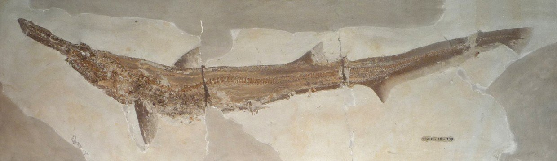 Scapanorhynchus-zkamenelina-zraloka