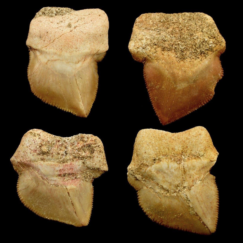 zraloci-zub-Squalicorax-bassanii-cca30mm
