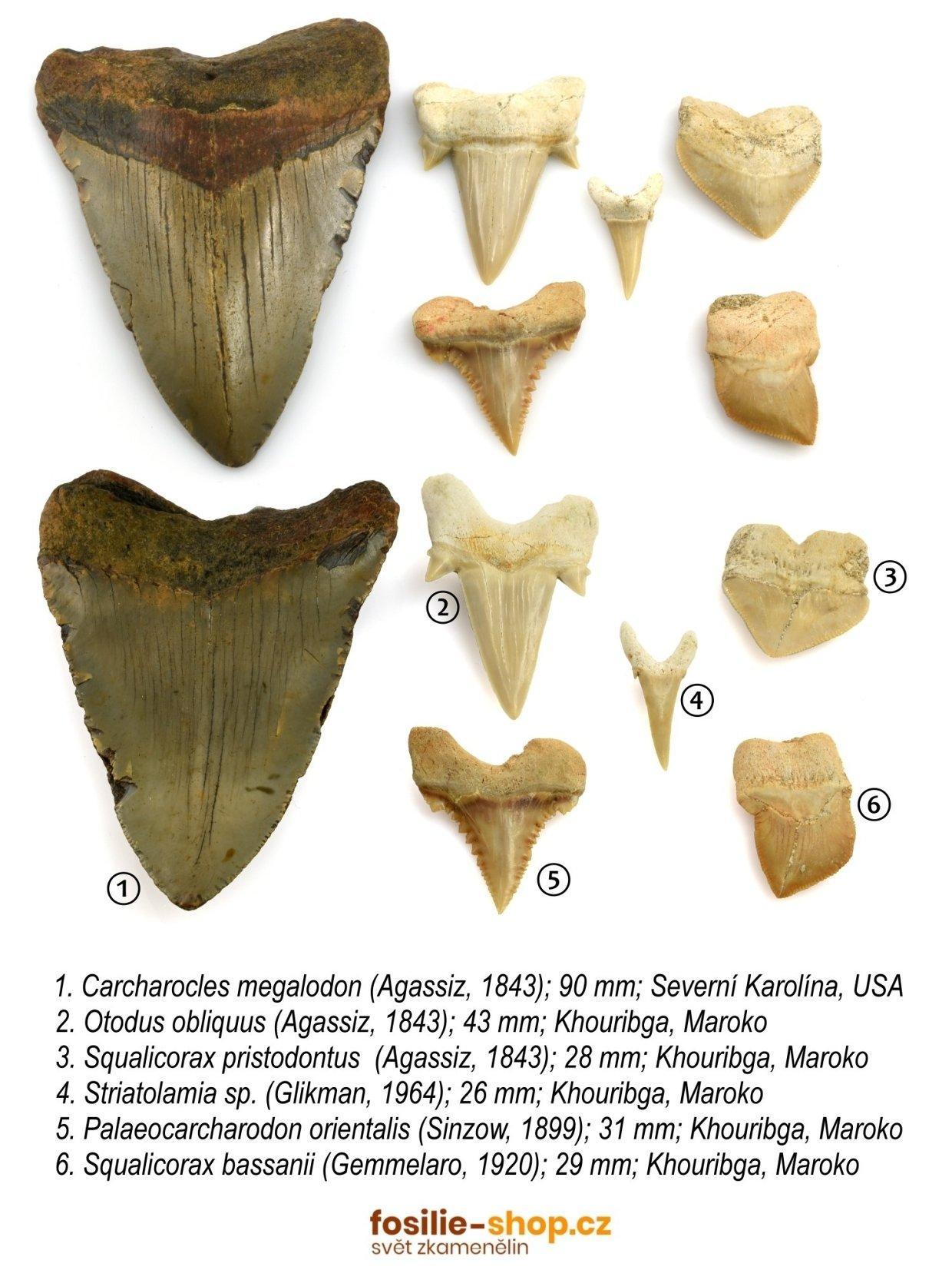 zraloci-zuby-druhy