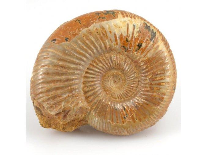 Amonit Perisphinctes sp., (35)