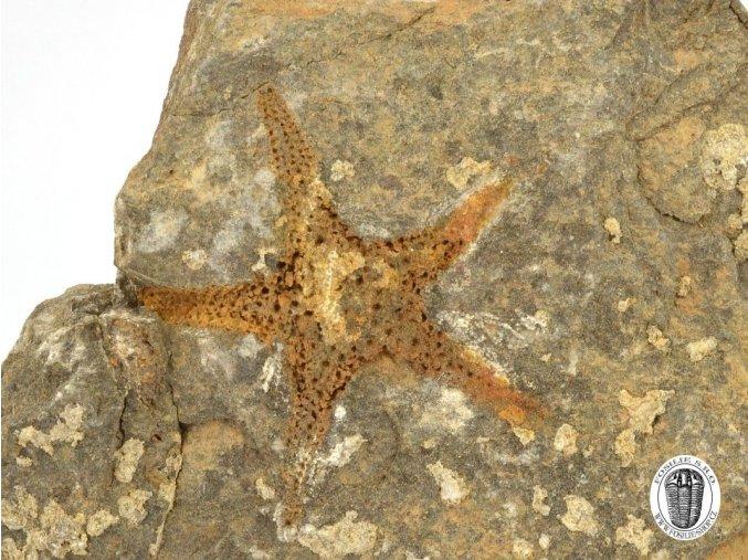 Zkamenělá hvězdice Petraster sp. (1)