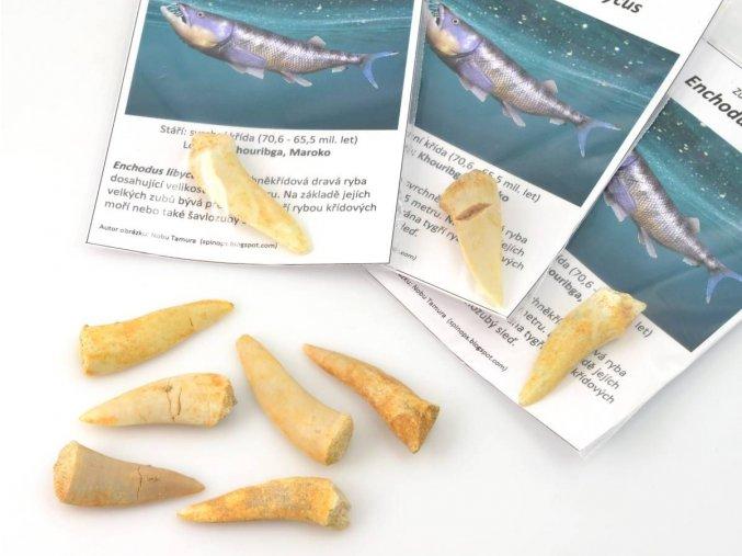Zub tygří ryby, Enchodus libycus 3,0-4,0 cm (1ks)