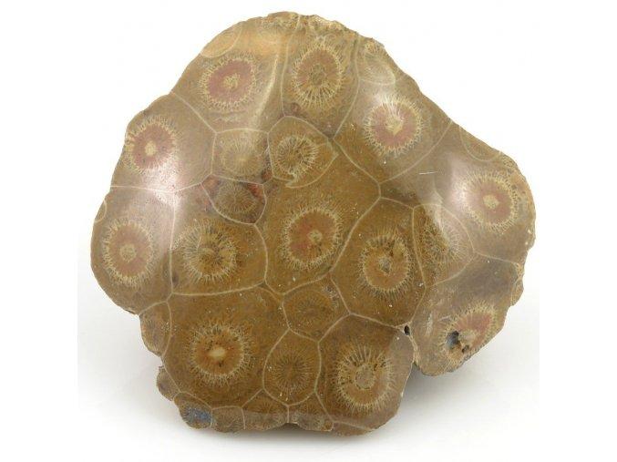 Fosilní korál Hexagonaria sp. (4)
