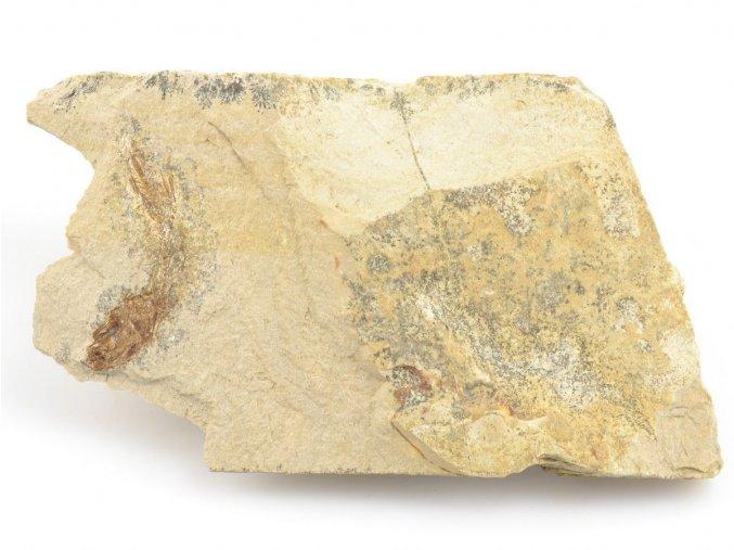 Fosilní ryba, Glossanodon musceli ČR (4)