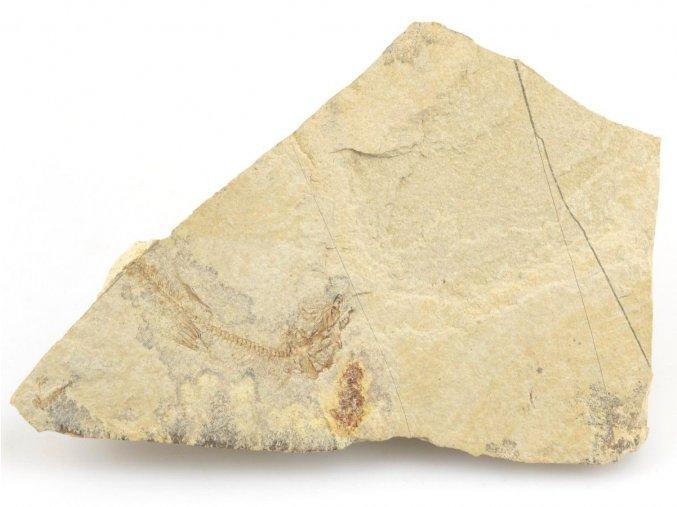 Fosilní ryba, Glossanodon musceli ČR (6)