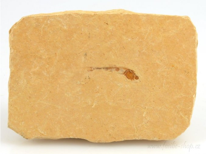 Fosilní ryba, Dastilbe elongatus (12)