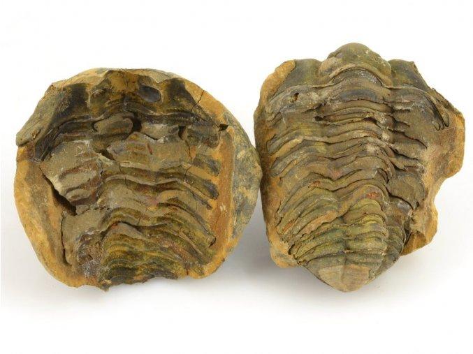 Trilobit Dicalymene sp. (2)