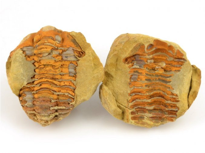 Trilobit Dicalymene sp. (3)