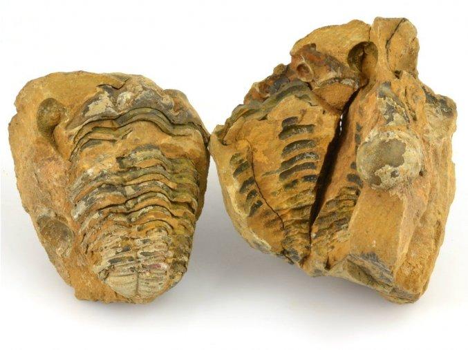 Trilobit Flexicalymene sp. (8)