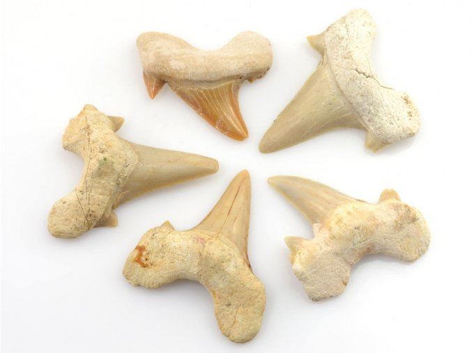 zraloci zuby 5ks 17