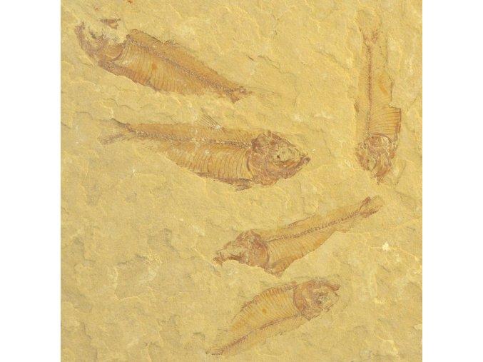 ryba Gosiutichthys parvus 2a