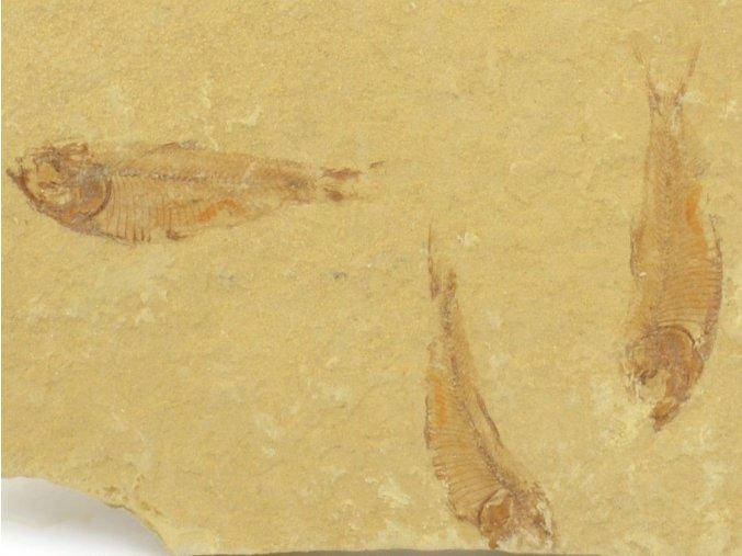 ryba Gosiutichthys parvus 7a
