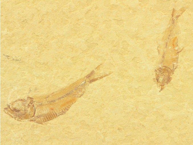 ryba Gosiutichthys parvus 9a