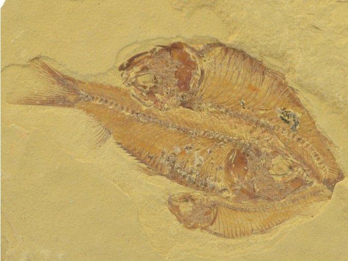 ryba Gosiutichthys parvus 13a