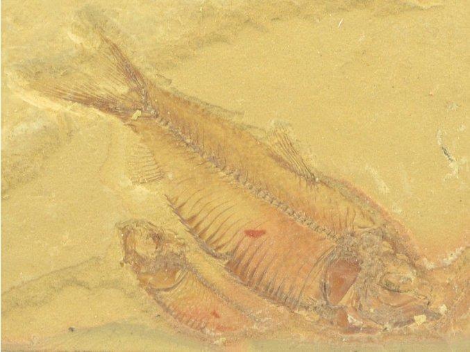 ryba Gosiutichthys parvus 17a