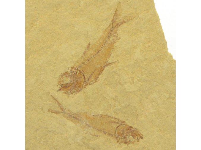 ryba Gosiutichthys parvus 18a