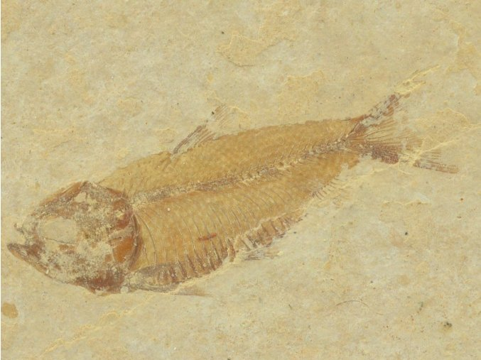 ryba Gosiutichthys parvus 19