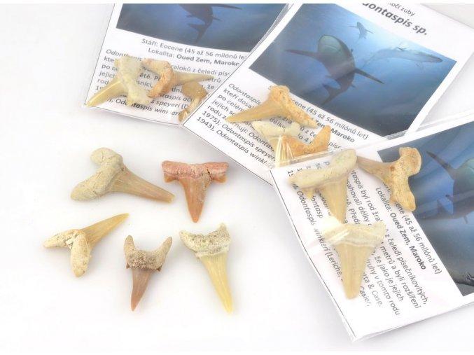Žraločí zuby Odontaspis sp. (3ks)