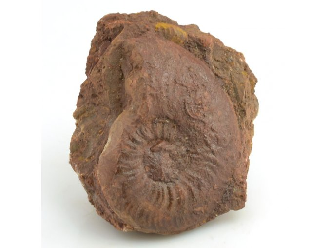amonit pleydellia 4